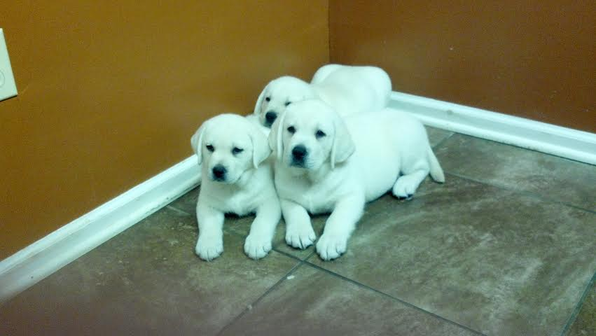 Pile Of White Lab Puppies