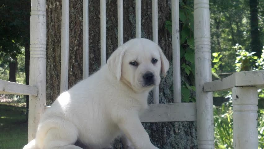 Polar Bear Lab Puppy