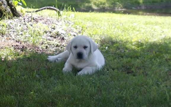 White Lab Pup Laying In Grass