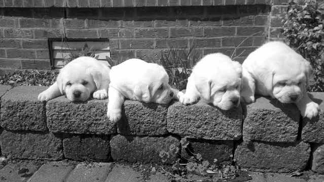 White Lab Puppies Sleeping