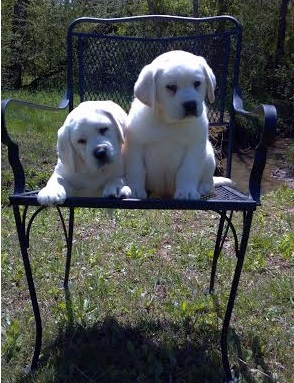 White Lab Pups on Chair