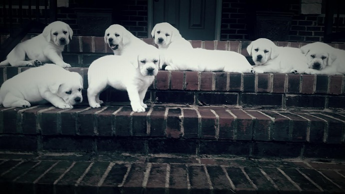 Beautiful litter of snow white lab puppies on steps.